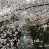 東京都内の桜の名所ランキングで常に上位の「目黒川」!