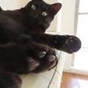 黒猫の性格や特徴について考えると、初めて猫を飼うなら黒猫が一番であることが分かった!
