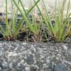 単子葉植物の小型個体