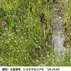 矢並湿地のシラタマホシクサ