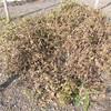 ジャンボ落花生の採種