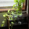 3月のポトス 水植えのポトスが元気に冬を越えた