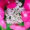 梅雨に咲く花、紫陽花(あじさい)種類別、色別の花言葉!