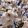 長野県 上田城の千本桜まつり