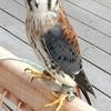 9月27日の「第54回アース▪エコ▪フェア浜松城公園」会場で見た鷲▪鷹▪鳥