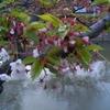 葉桜 新緑