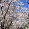 桜前線2018の見納め@戸田記念墓地公園 ~札幌近郊随一の桜スポットと胸を張って言える質・量
