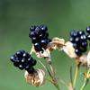 """ぬばたま """"植物をたどって古事記を読む"""" アカネとススキが詠み込まれたオホクニヌシの歌.  この歌に,もう一つの植物が詠み込まれていることを見落としていました.「ぬばたま」.ヒオウギの黒い実のことです.「黒」や「夜」,またその他の「黒」をイメージさせる言葉を導きます.""""ぬばたまの くろきみけしを  まつぶさに 取りよそひ  おきつとり むな見るとき  はばたきも これはふさはず""""."""
