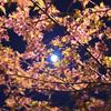 50㎜で見る夜の河津桜