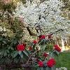 今年最初のシャクナゲの花