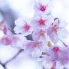 京都・荒神口 - 清浄華院の蜂須賀桜