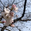 【お花見】代々木公園 開花状況 (2019/3/22) 〜代々木公園開花!場所取りちょっと穴場情報