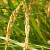 稲刈りの日々