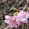 蝋梅満開! かたや桜が開花⁉︎ この寒さで⁉︎