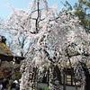 平野神社の桜2020、魁桜が見頃を迎えて満開!!