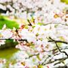 花見時期、駒沢オリンピック公園は全面的に撮影禁止。