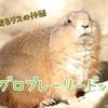 【生き物紹介#8】草原のリス、オグロプレーリードッグの生態、見られる動物園まとめ
