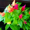 ケイトウという花
