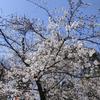 【2020年】上野恩賜公園の桜情報(その2)