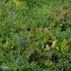 自然栽培サニーレタス