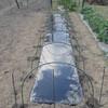 絹莢エンドウの畝作り