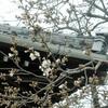 お墓参りと桜の開花
