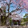 信州もいよいよ桜のシーズンオン