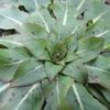 【ロゼット】植物がロゼットを形成するのは何故?実は様々な戦略が関係していた!?