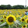 済州島(チェジュ島)6月のおすすめスポット #アジサイ #ヒマワリ #ホタル #コンサート