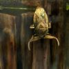タガメ Lethocerus deyrollei
