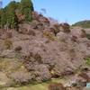 紅葉と桜『小原の四季桜』(その2) ― 紅葉《#13》 ―
