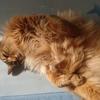 もふもふの昼休み スリスリしてなでなでをアピールする猫!父さんはもうメロメロです!!