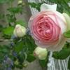 今日は我が小庭のバラたちを見てね。