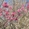 梅ヶ丘の羽根木公園の梅まつり 〜おすすめ散歩コース