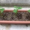 ツルなしインゲン栽培(プランター)・・・台風の時期の8月、ツルなし を種蒔き。
