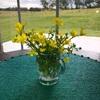 バックヤードに咲き乱れる黄色い花。摘んで部屋に飾ってみました。