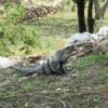 メキシコ ウシュマル遺跡(2/2)  「尼僧院」「球技場」「総督の宮殿」、たくさんのイグアナ君