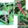 """イヌタデやミズヒキが例年以上に我が物顔で庭を占拠.でも,どちらも「雑草」にしてはかなり愛されていますね.イヌタデは,アカマンマ・アカノマンマ.ミズヒキは水引から命名.近縁の植物には,食べられる植物,可愛らしい花をつける親しみ深い植物が沢山あります.ヤナギタデ(ホンタデ:「蓼食う虫も好き好き」のタデ),ミゾソバ,ヒメツルソバ,ソバ,ルバーブ,""""スカンポ""""---"""
