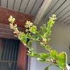 白花サルスベリ ツボミ