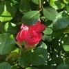 アンジェラが咲いていた