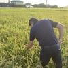 明日、稲刈り。