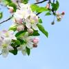 林檎の花*