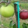 除袋後のりんごの色づき。