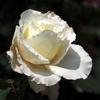 市川市動植物園のバラ「マダム サチ」