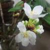 桜、咲く!