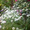 庭を占領中:オルラヤ・ホワイトレース