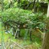 植物と私:今年の牧の木は、どうしたのだろう。