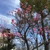 梅の花が満開です