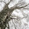 枝に雪を纏ったブナ