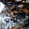 渓流のコガモ